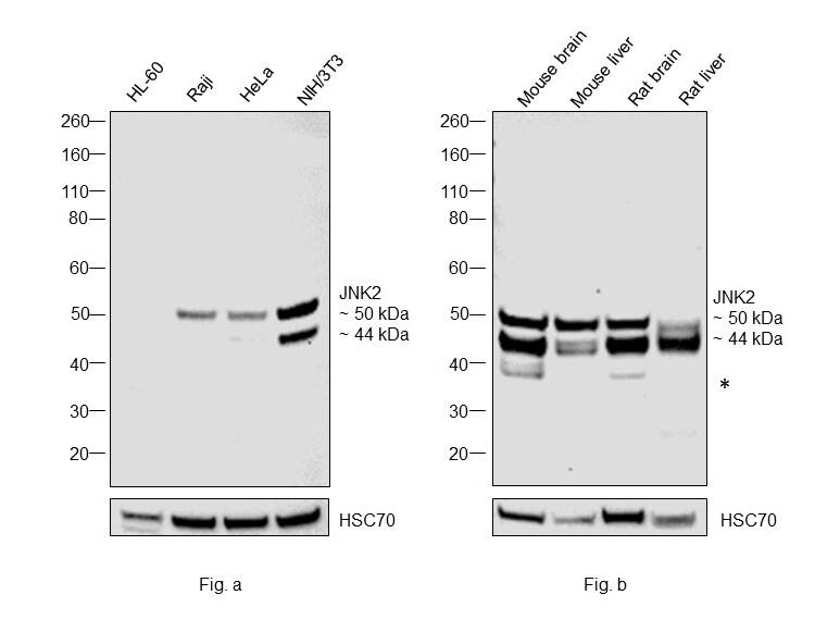 JNK2 Antibody in Western Blot (WB)