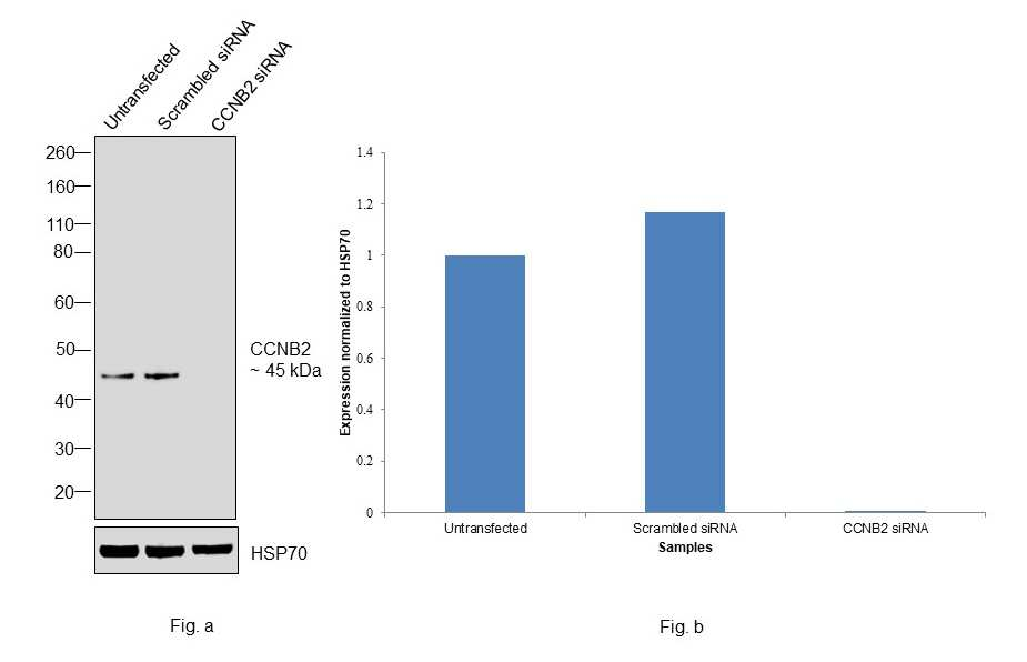 Cyclin B2 Antibody in Knockdown