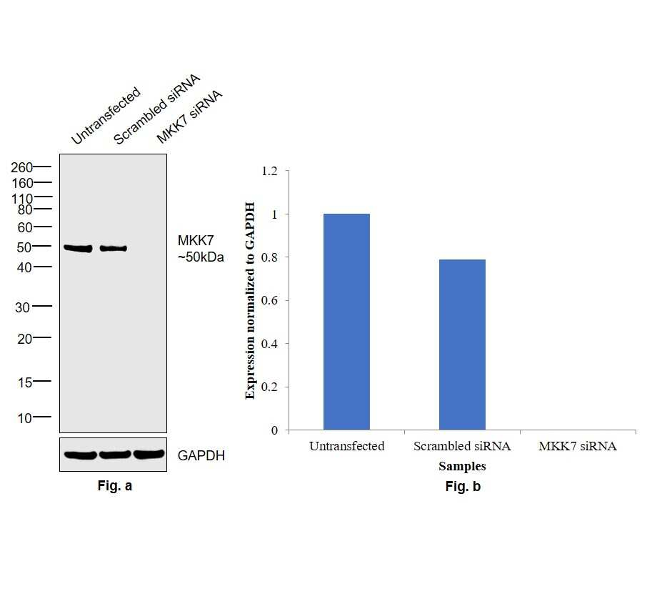 MKK7 Antibody in Western Blot (WB)