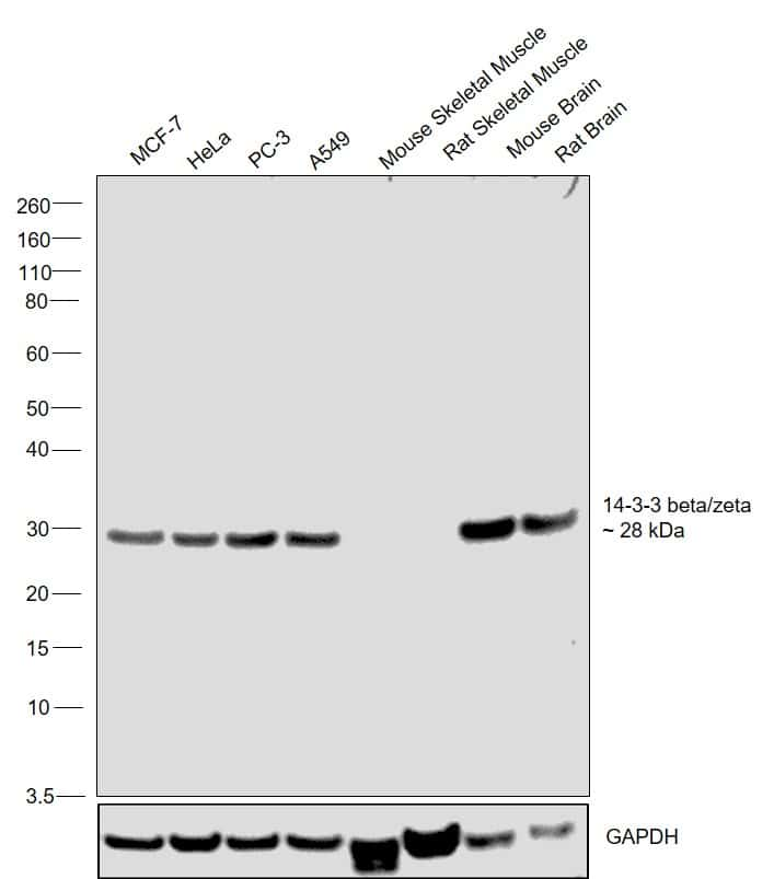 14-3-3 beta/zeta Antibody in Relative expression