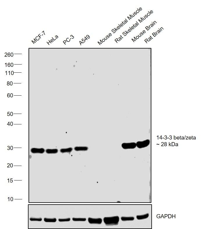 14-3-3 beta/zeta Antibody in Relative expression