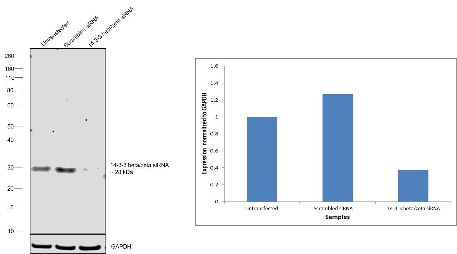 14-3-3 beta/zeta Antibody in Knockdown
