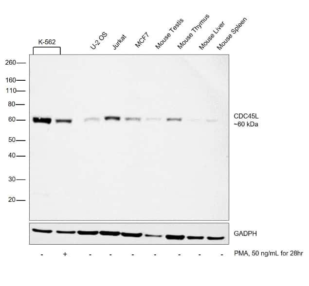 Cdc45L Antibody in Relative expression