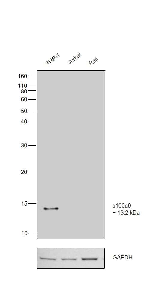 S100A9 Antibody in Relative expression