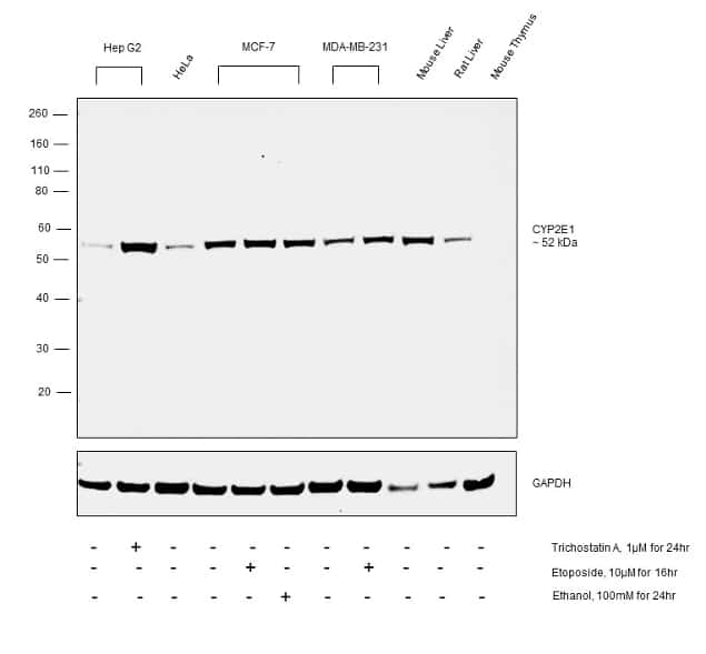 CYP2E1 Antibody in Cell treatment