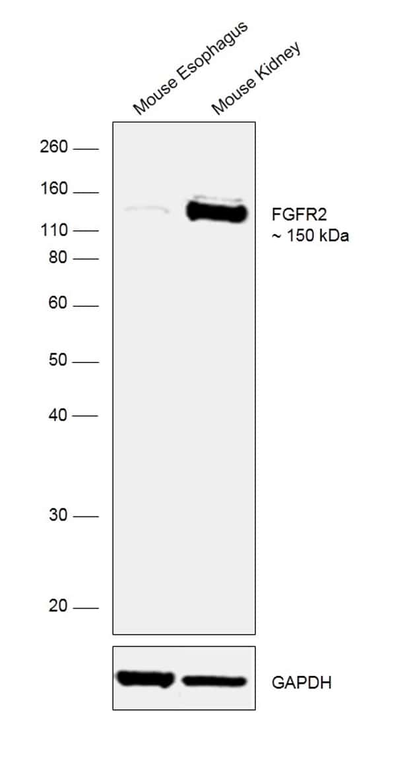 FGFR2 Antibody in Relative expression
