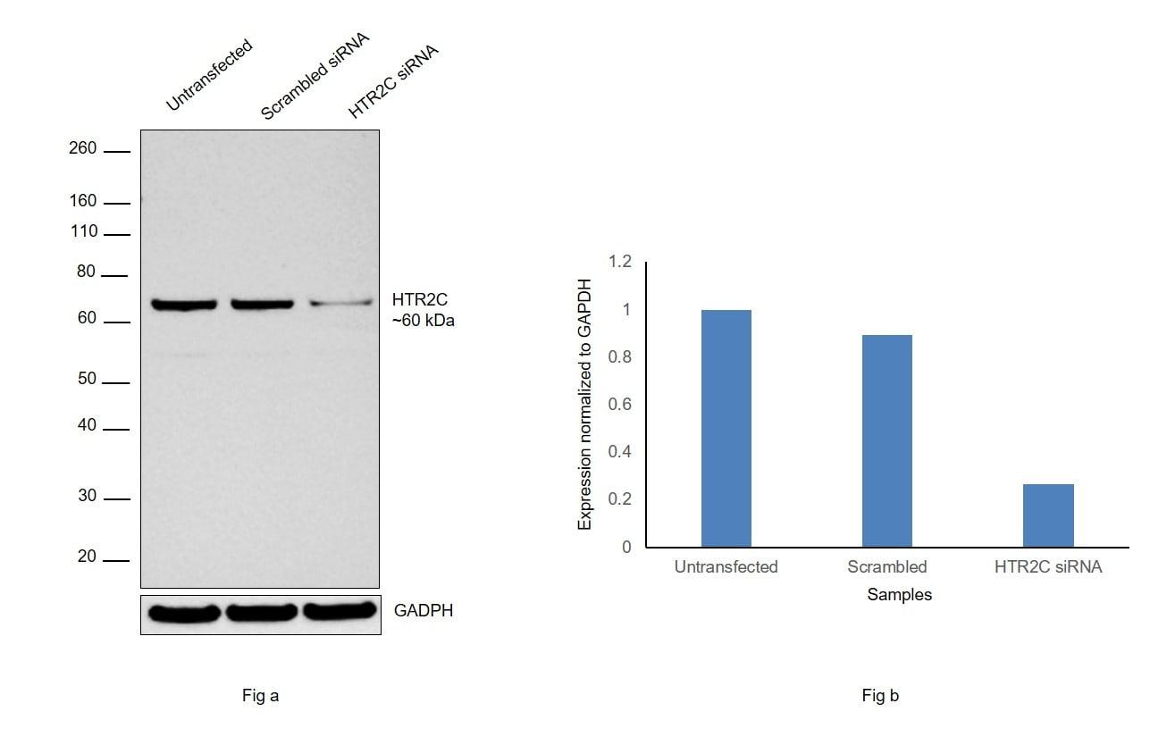 HTR2C Antibody in Knockdown