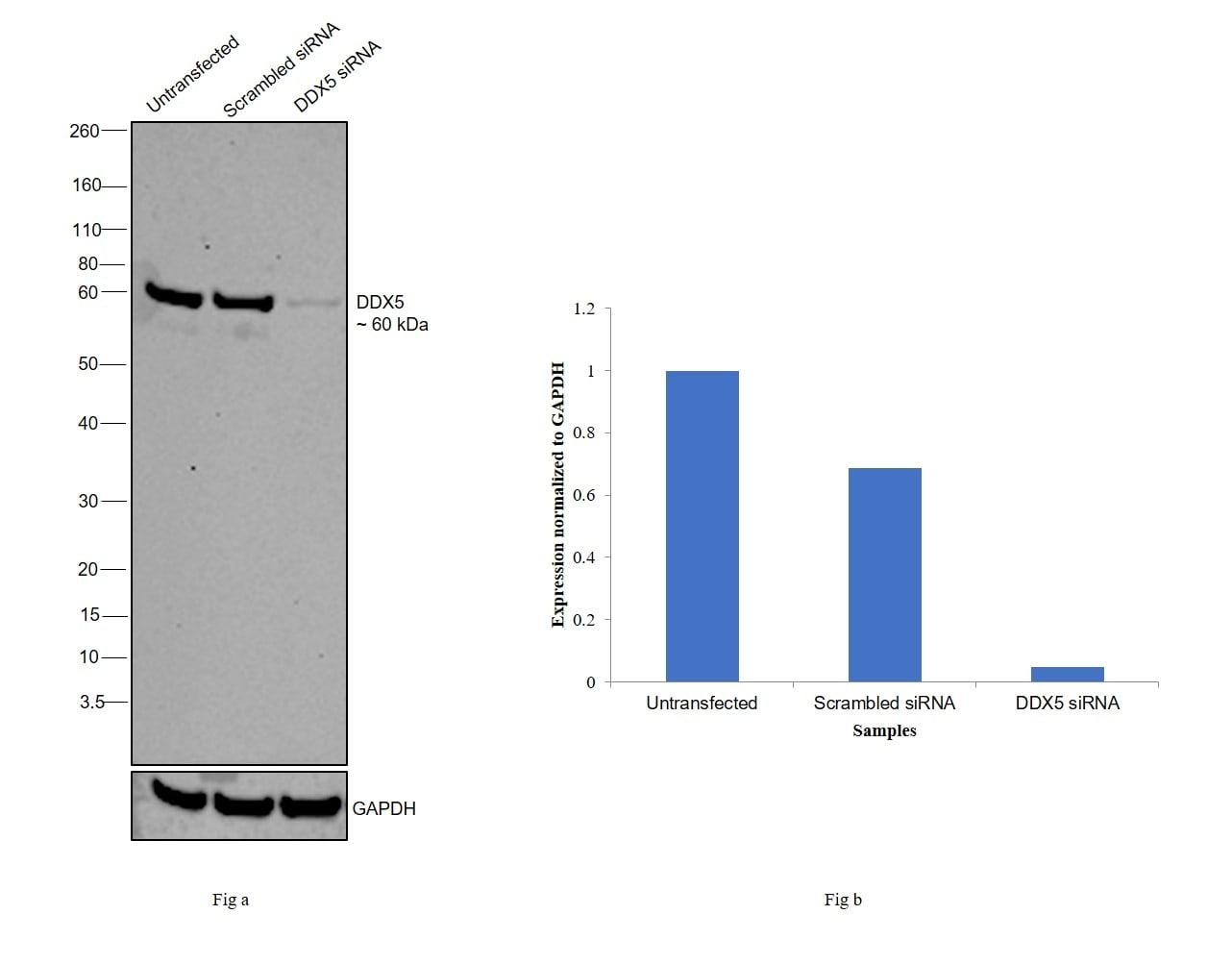 DDX5 Antibody in Knockdown