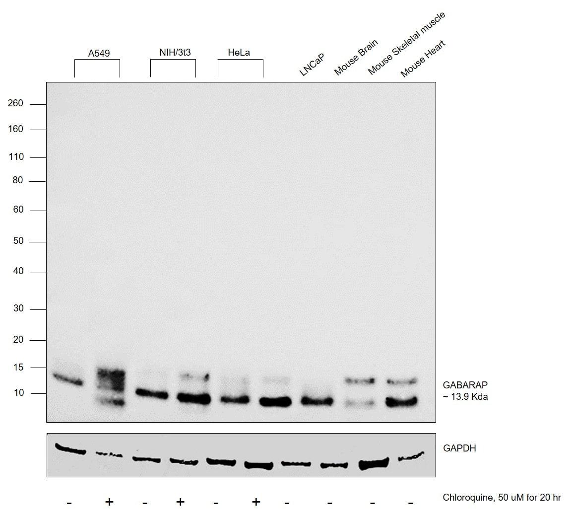 GABARAP/GABARAPL1 Antibody in Cell treatment