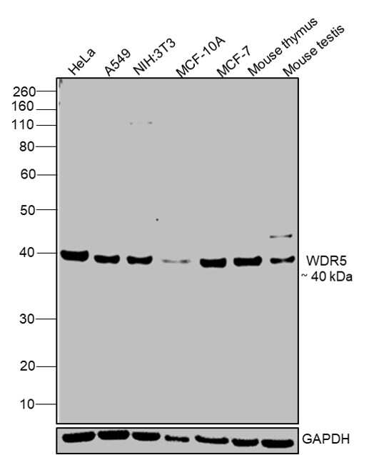 WDR5 Antibody in Relative expression