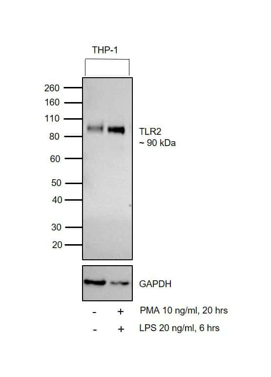 TLR2 Antibody in Western Blot (WB)