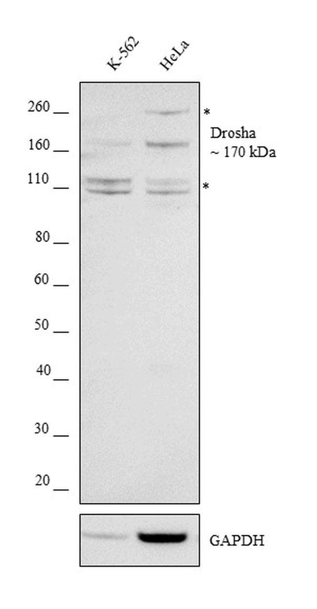 Drosha Antibody in Western Blot (WB)