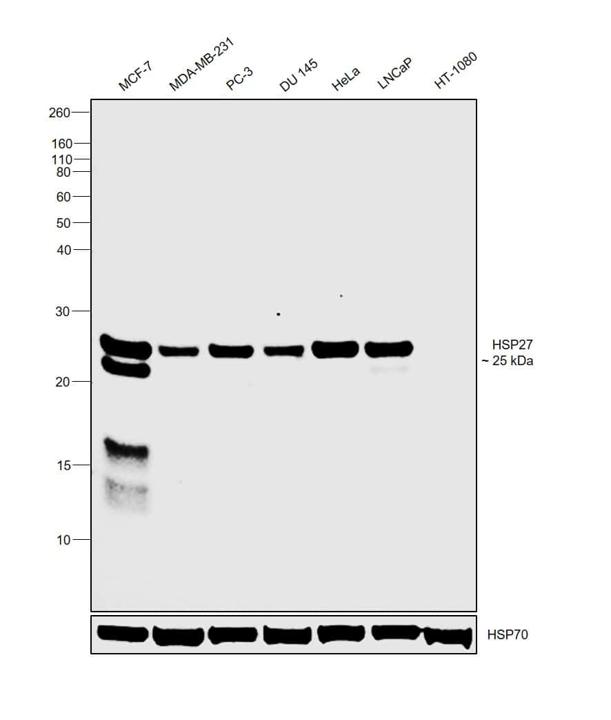 HSP27 Antibody in Relative expression
