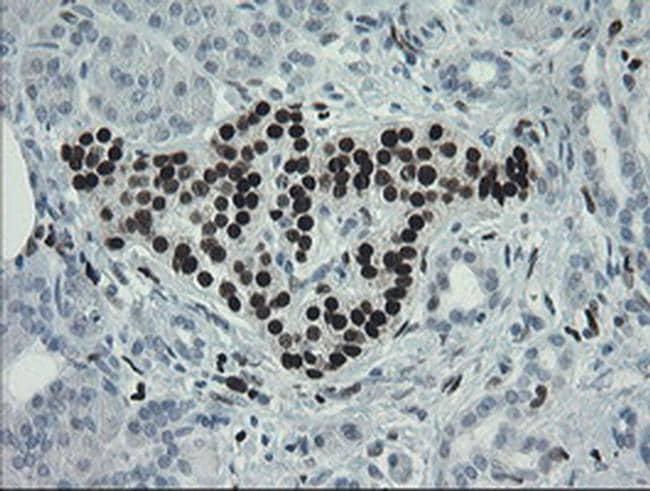 MAFB Antibody in Immunohistochemistry (Paraffin) (IHC (P))
