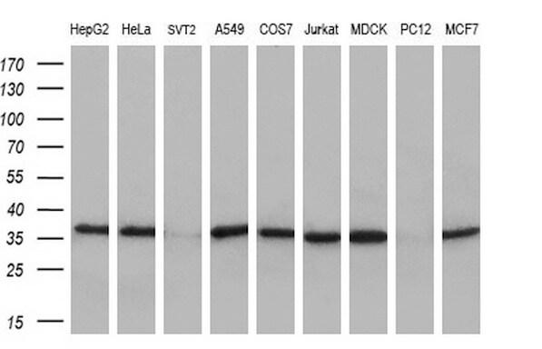 MAFB Antibody in Western Blot (WB)