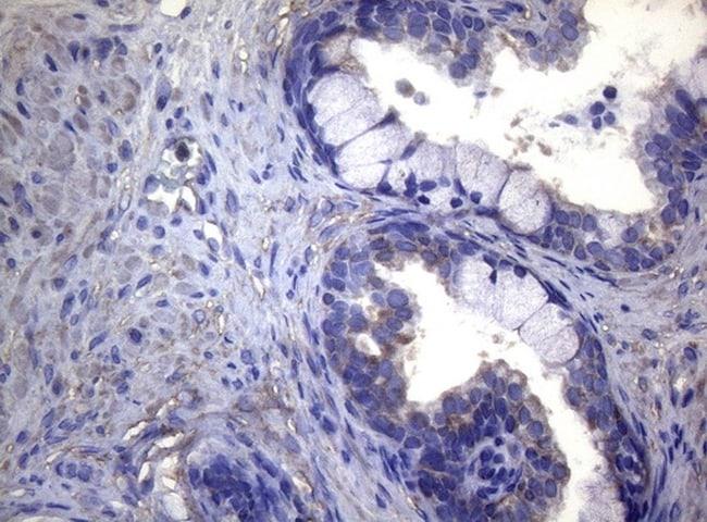 MAK Antibody in Immunohistochemistry (Paraffin) (IHC (P))