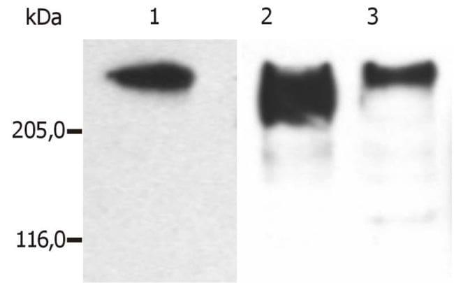 MAP2 Antibody in Western Blot (WB)
