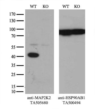 MAP2K2 Antibody in Knockout