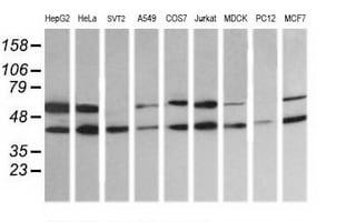 MAP2K2 Antibody in Western Blot (WB)