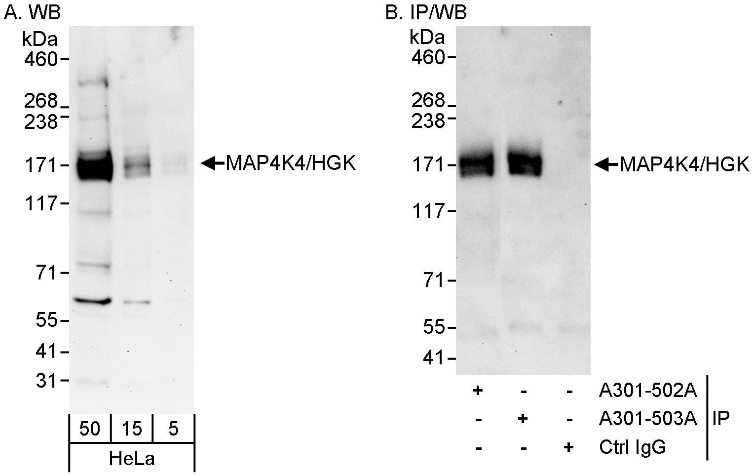 MAP4K4/HGK Antibody in Western Blot (WB)