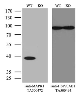 MAPK1 Antibody in Knockout