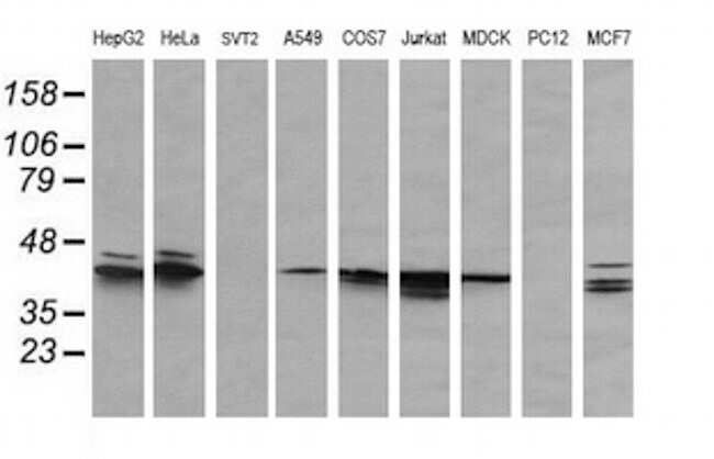 MAPK3 Antibody in Western Blot (WB)