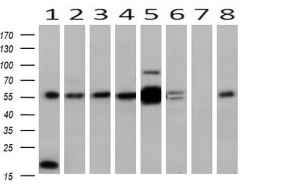 MAPK4 Antibody in Western Blot (WB)