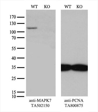 MAPK7 Antibody in Knockout