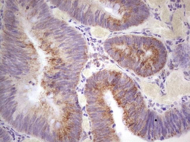 MARK3 Antibody in Immunohistochemistry (Paraffin) (IHC (P))