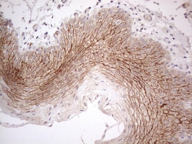 MARK4 Antibody in Immunohistochemistry (Paraffin) (IHC (P))