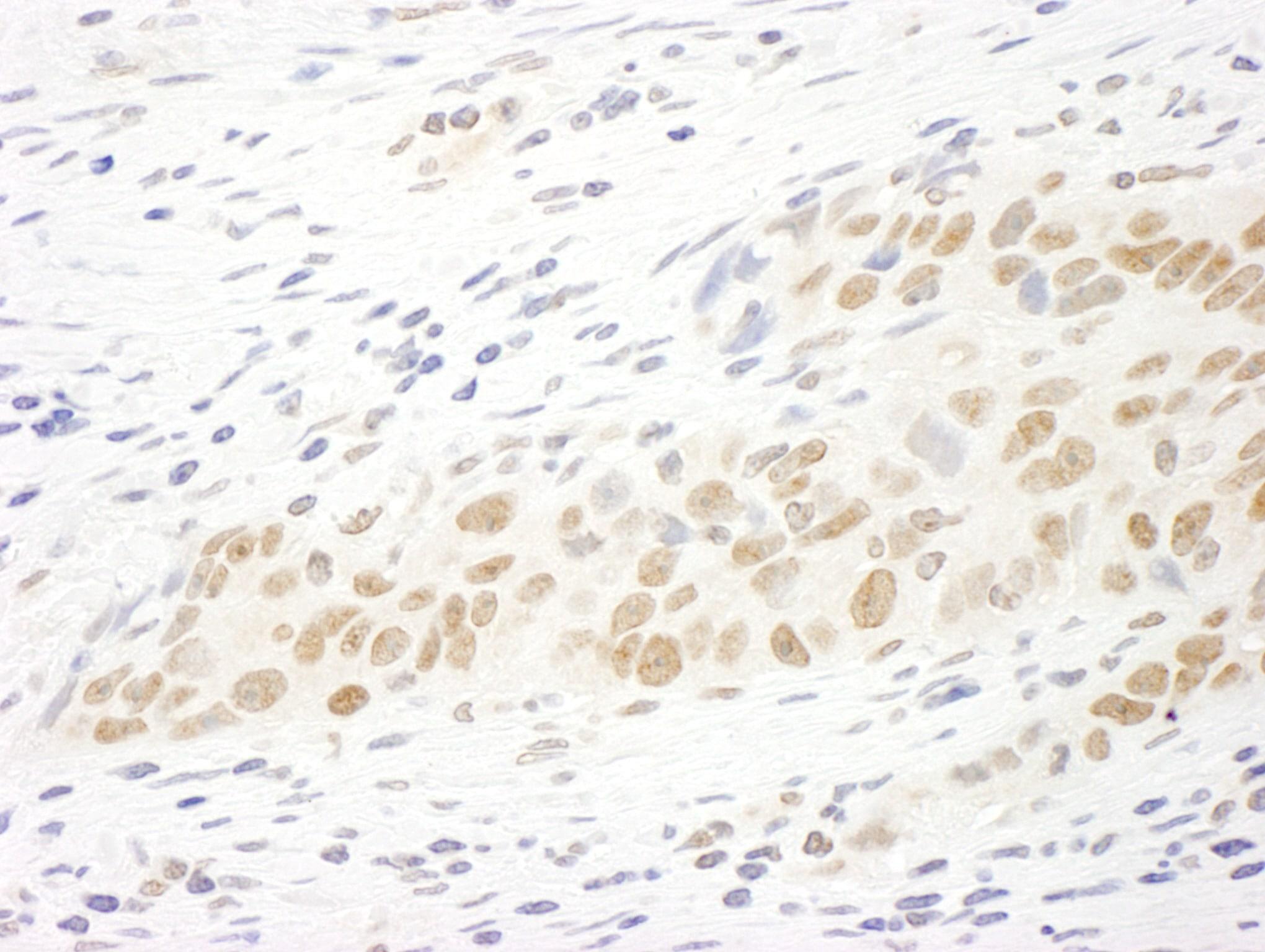 MASTL Antibody in Immunohistochemistry (IHC)