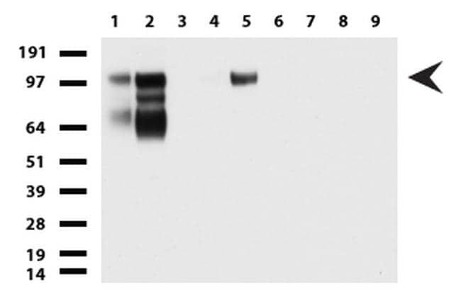 MCAM Antibody in Western Blot (WB)