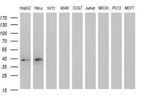 MCAT Antibody in Western Blot (WB)