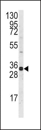 MCL1 Antibody in Western Blot (WB)