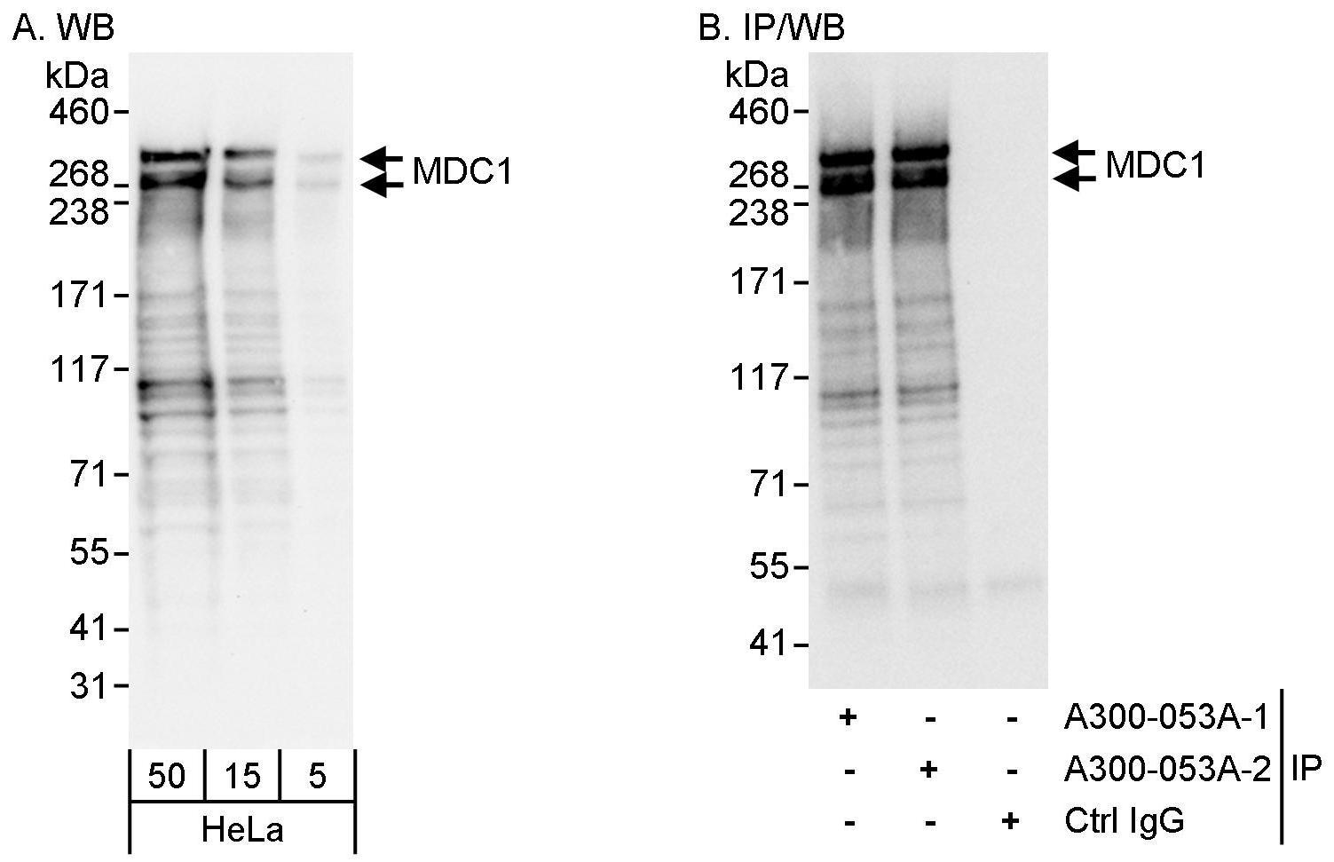 MDC1 Antibody in Western Blot (WB)