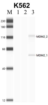 MDM2 Antibody in Immunoprecipitation (IP)