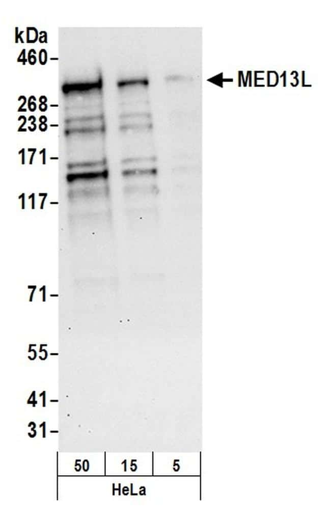 MED13L Antibody in Western Blot (WB)