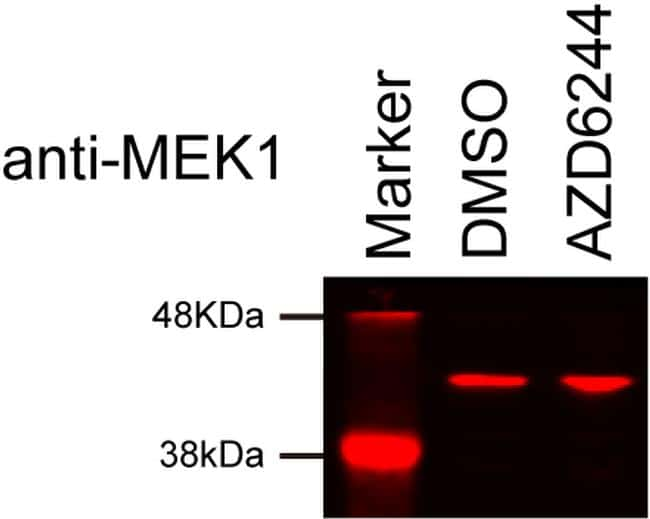 MEK1 Antibody in Western Blot (WB)