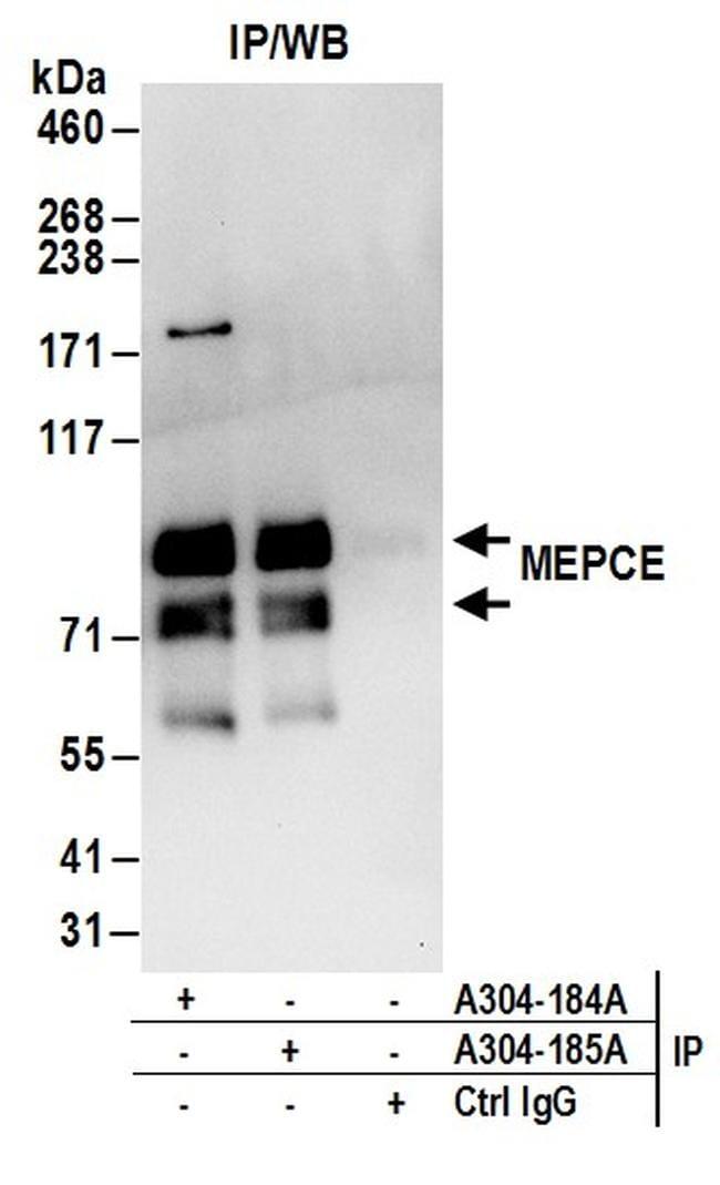 MEPCE Antibody in Western Blot (WB)