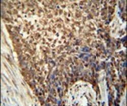METTL4 Antibody in Immunohistochemistry (IHC)