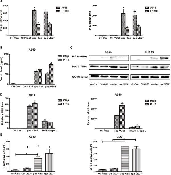 MHC Class I (H-2Kb) Antibody