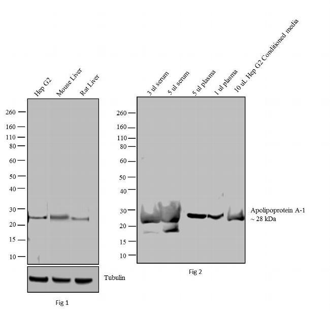 ApoA1 Antibody in Western Blot (WB)