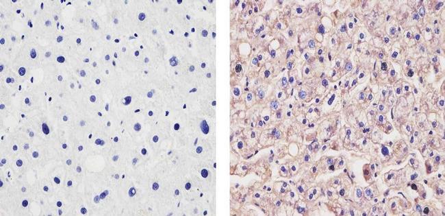 ApoA1 Antibody in Immunohistochemistry (Paraffin) (IHC (P))