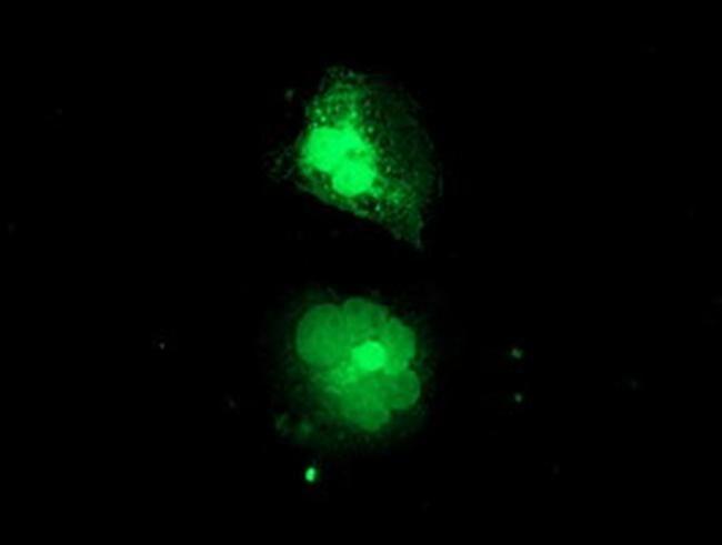 MIF4GD Antibody in Immunofluorescence (IF)