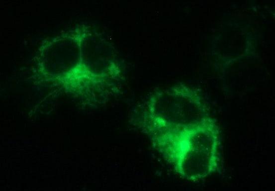 MINPP1 Antibody in Immunofluorescence (IF)