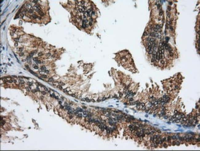 MIOX Antibody in Immunohistochemistry (Paraffin) (IHC (P))