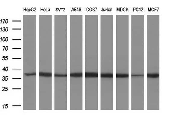 MIOX Antibody in Western Blot (WB)