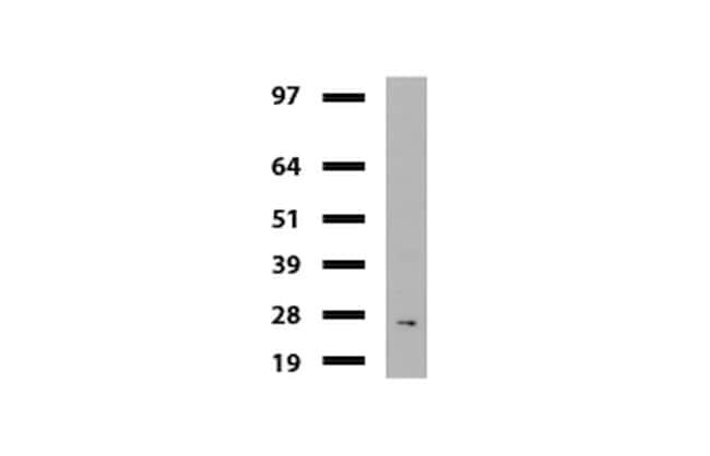 MLH1 Antibody in Western Blot (WB)