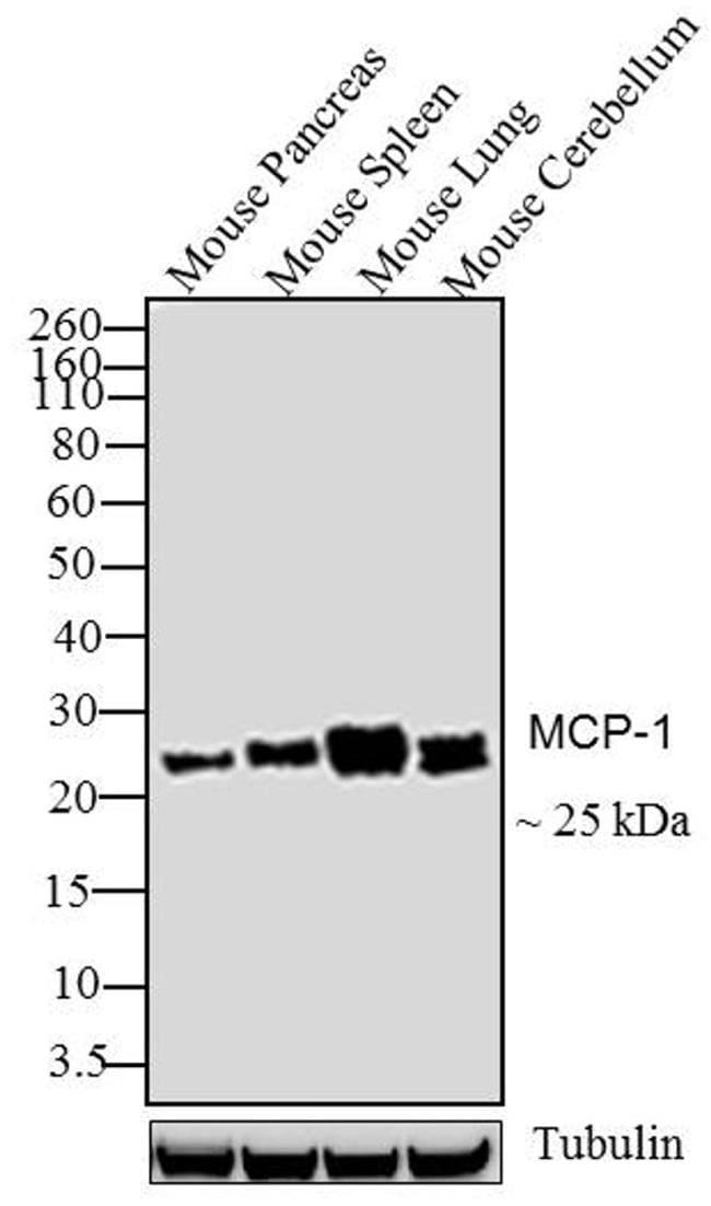 MCP-1 Antibody in Western Blot (WB)