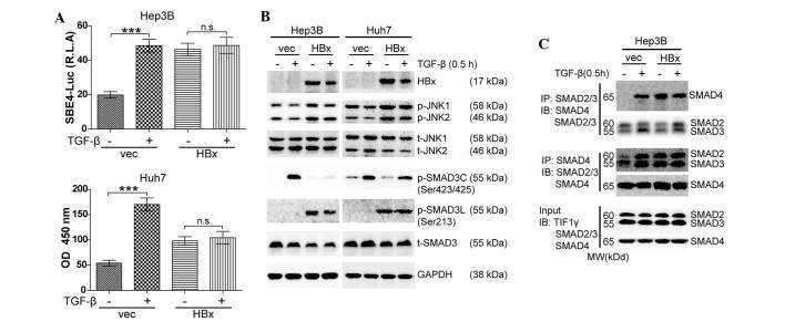 Phospho-SMAD3 (Ser213) Antibody